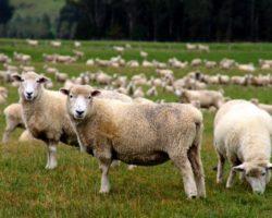 Fête de l'Aïd ou de la Tabaski: en Guinée, cher mouton…